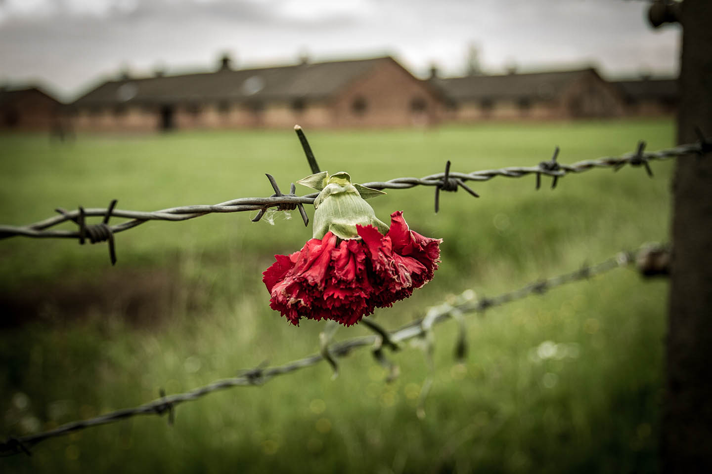 Red flower rose over barbed wire at Birkenau concentration camp poland