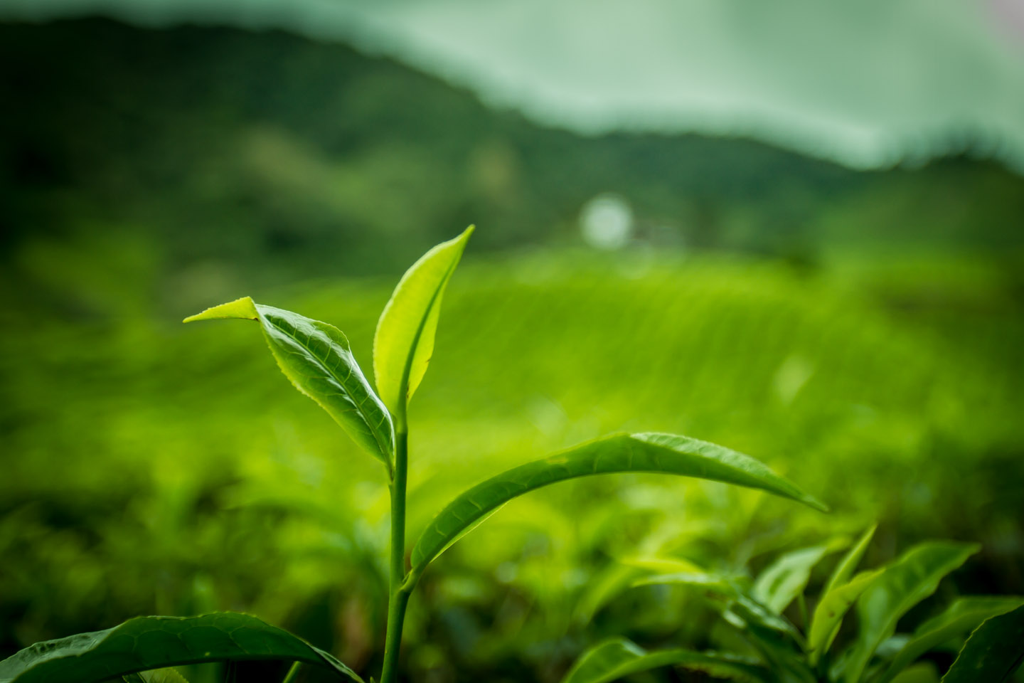 Tea plant growing at Cameron Highlands Malaysia