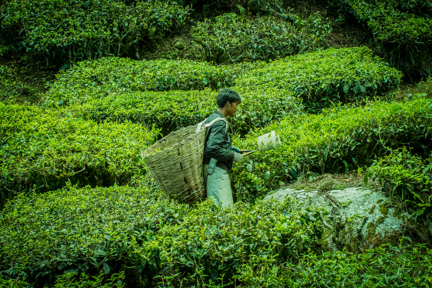 Worker harvesting tea at Cameron Highlands Malaysia