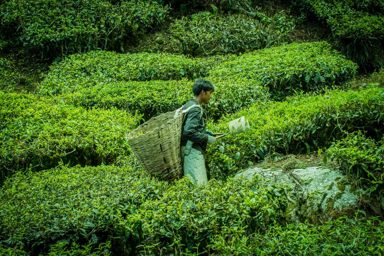 Worker harvesting tea at Cameron Highlands Malaysia