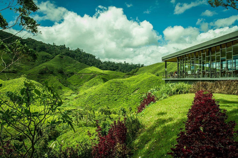 Black and green tea production BOH plantation Cameron Highlands Malaysia