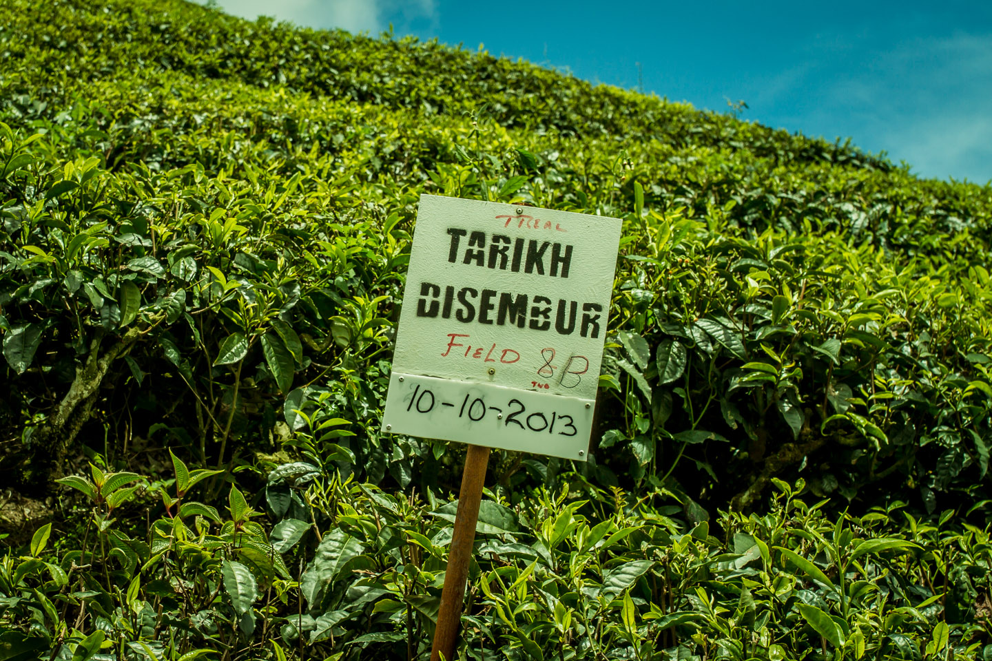 Tea production and fermentation at Cameron Highlands Malaysia
