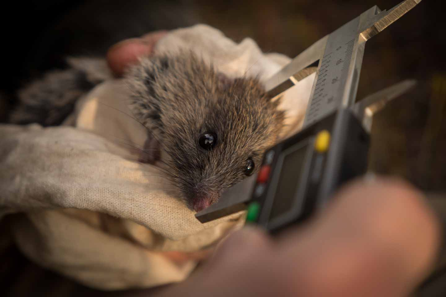 Bandicoot in Cape Arid National Park with Parks and Wildlife Western Australia