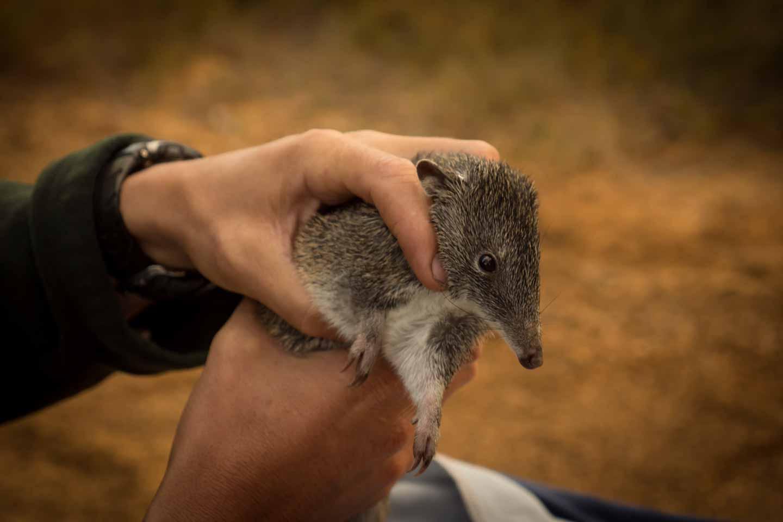 Bandicoot in Cape Arid National Park Western Australia