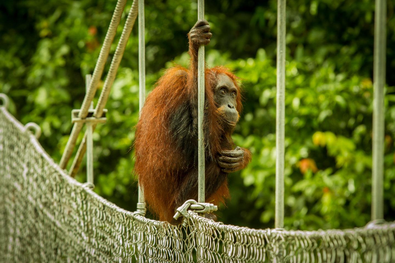 Orang Utan Monkey Danum Valley Field Center Conservation Area Sabah Borneo Malaysia