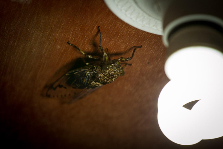 Cicada Zikade Danum Valley Field Center Conservation Area Sabah Borneo Malaysia