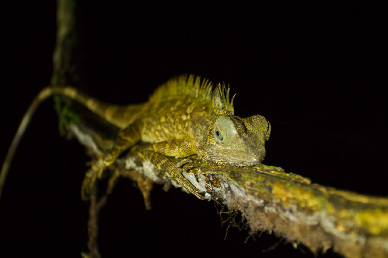 Lizard Echse Danum Valley Field Center Conservation Area Sabah Borneo Malaysia
