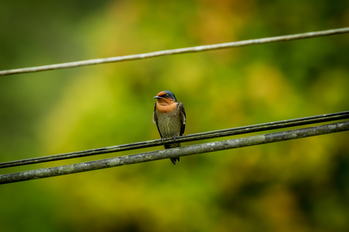 Pacific Swallow Bird on a power line at Danum Valley Field Center Conservation Area Sabah Borneo Malaysia
