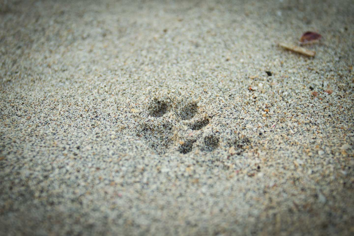 Puma print footprint in sand beach at Nusa Kambangan Java Indonesia