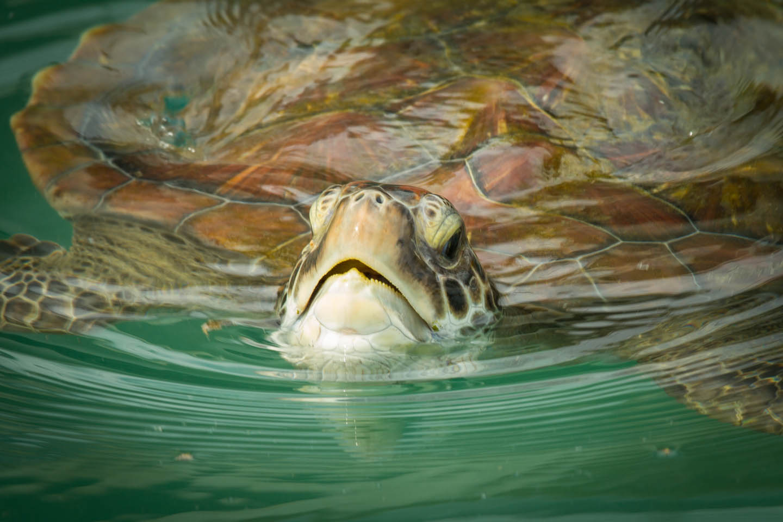 Kelonia Turtle Sanctuary Aquarium Tank Réunion Reunion/ Schildkröten Farm Aufzuchtstation