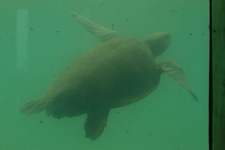 Kelonia Turtle Sanctuary Tank Réunion Reunion / Schildkröten  Aquarium