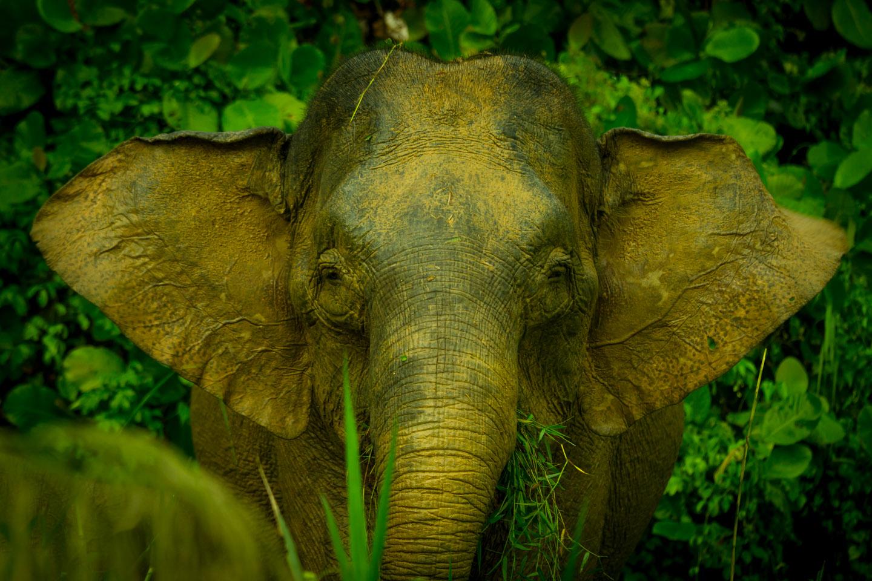 Borneo pygmy elephant Kinabatangan River Sabah Borneo Malaysia
