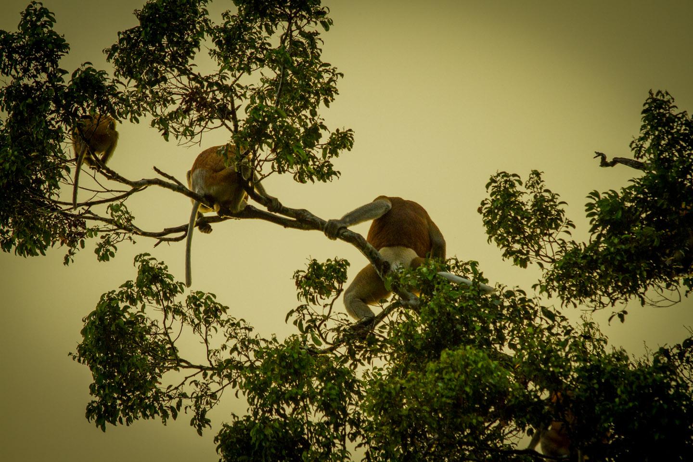 Proboscis monkeys playing at Kinabatangan River Sabah Borneo Malaysia