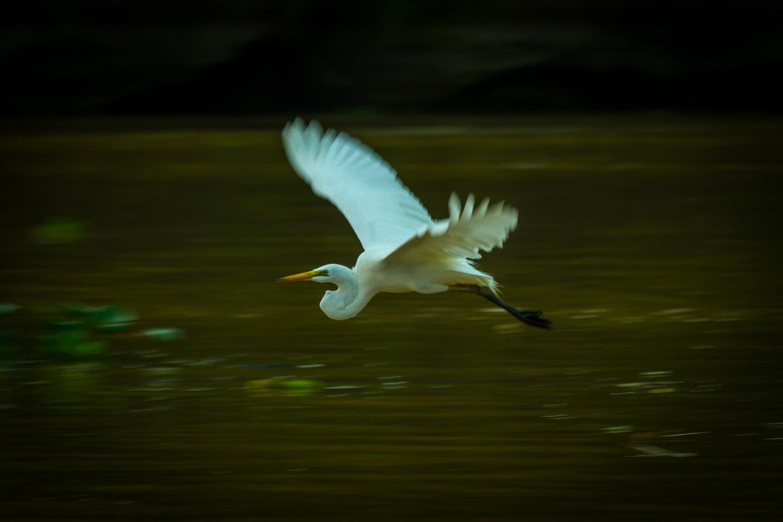 Heron bird Kinabatangan River Sabah Borneo Malaysia