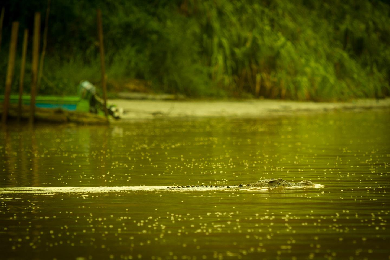 Saltwater Crocodile Kinabatangan River Cruise Sabah Borneo Malaysia