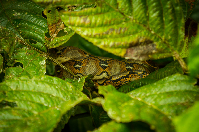 Tree snake python Kinabatangan River Sabah Borneo Malaysia