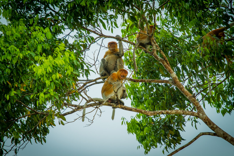 Proboscis monkeys Kinabatangan River Sabah Borneo Malaysia