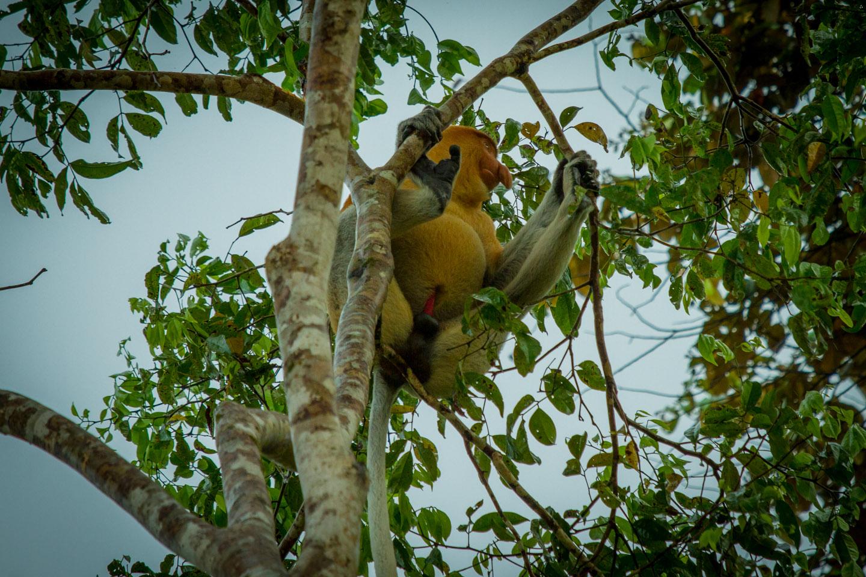 'Male Proboscis monkey at Kinabatangan River Sabah Borneo Malaysia