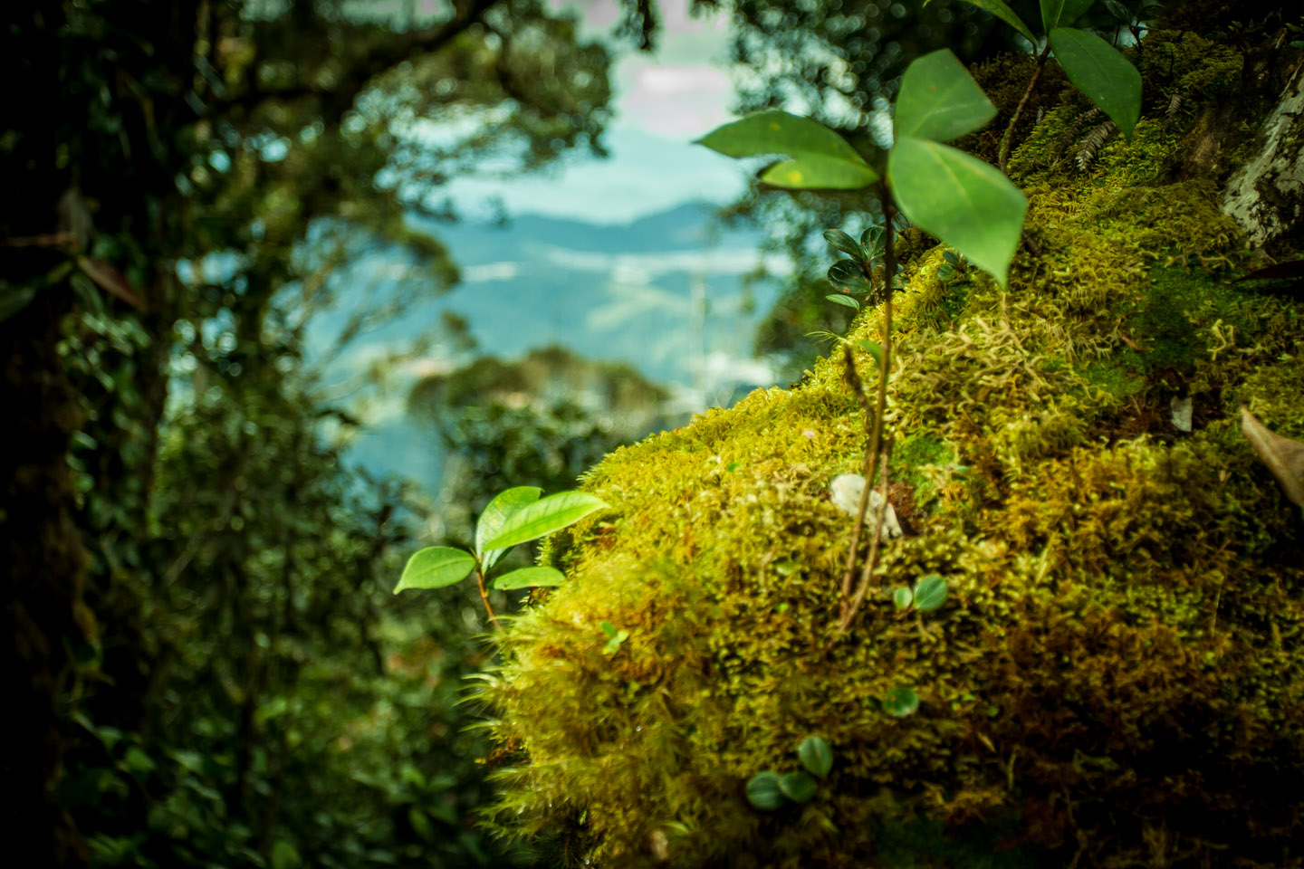 Plant and moos in the Mossy Forest Mount Gunung Batu Brinchang