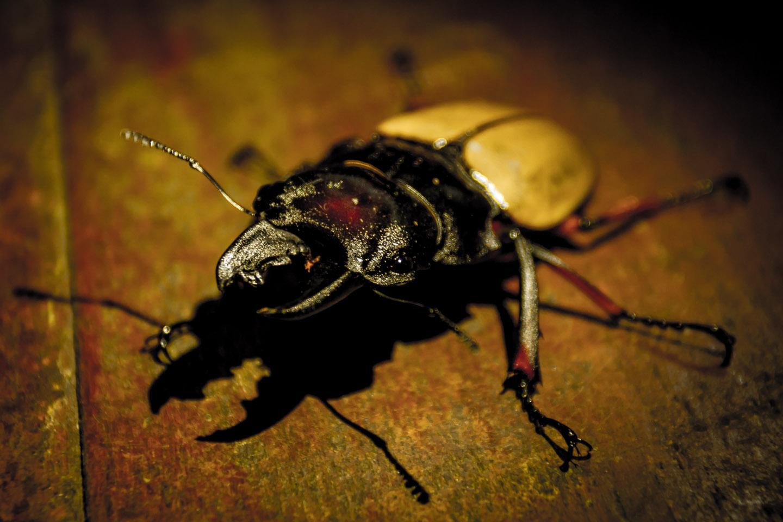 Stag beetle at Kinabalu Mountain Lodge Sabah Borneo Malaysia