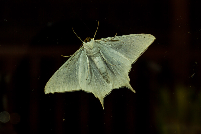 Big moth at Kinabalu Mountain Lodge Sabah Borneo Malaysia