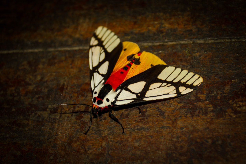 Moth at Kinabalu Mountain Lodge Sabah Borneo Malaysia