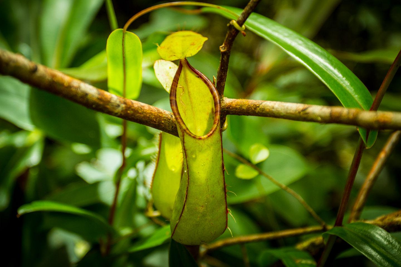 Pitcher Plant at Mount Kinabalu Sabah Borneo Malaysia
