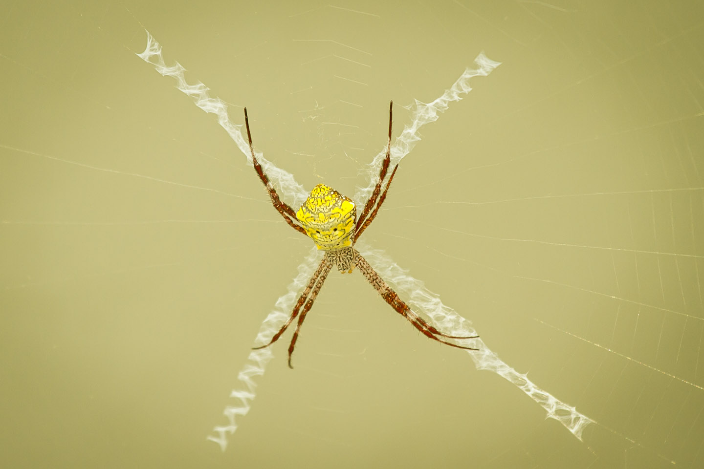 Huge yellow spider at Candi Sewu Hindu Buddhist Temple Java