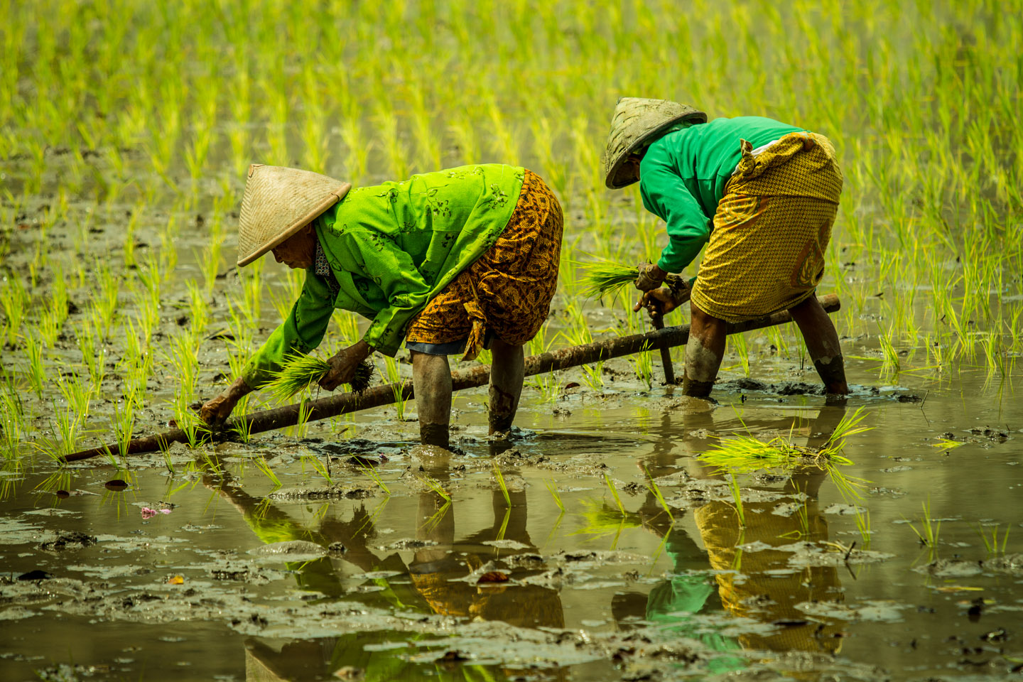Women planting rice seedlings at Prambanan Hindu Temple Java