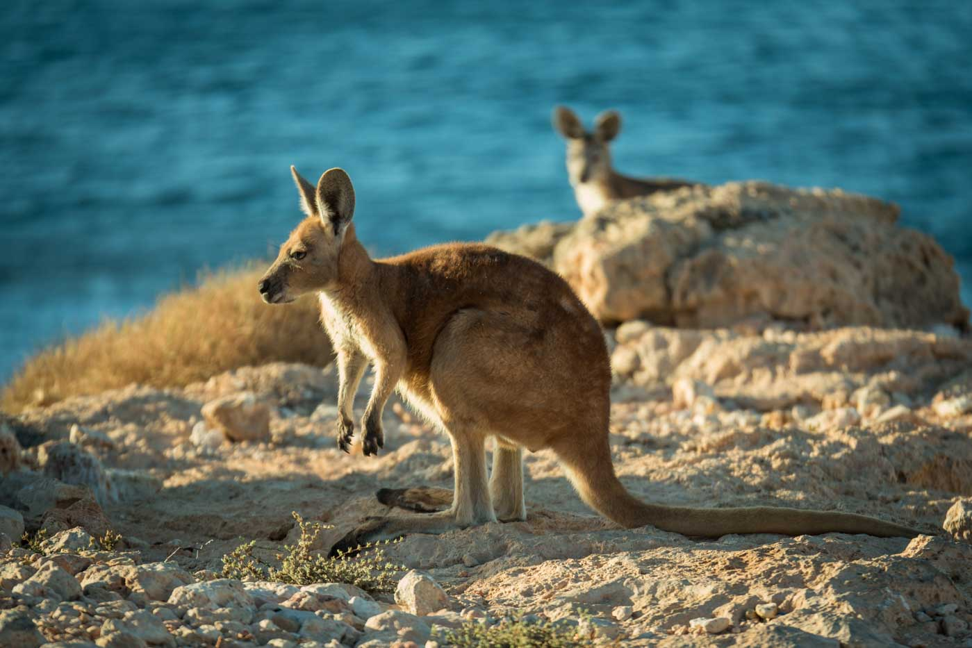 Wallaby at Red Bluff Surf Spot Western Australia surfing big wave Ningaloo Reef