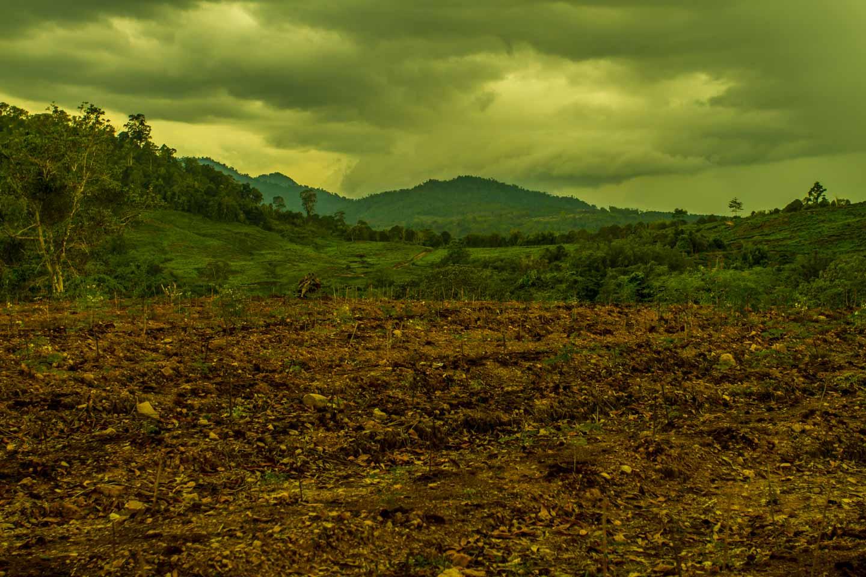 Sabah Organic Tea Garden Plantation Borneo Malaysia