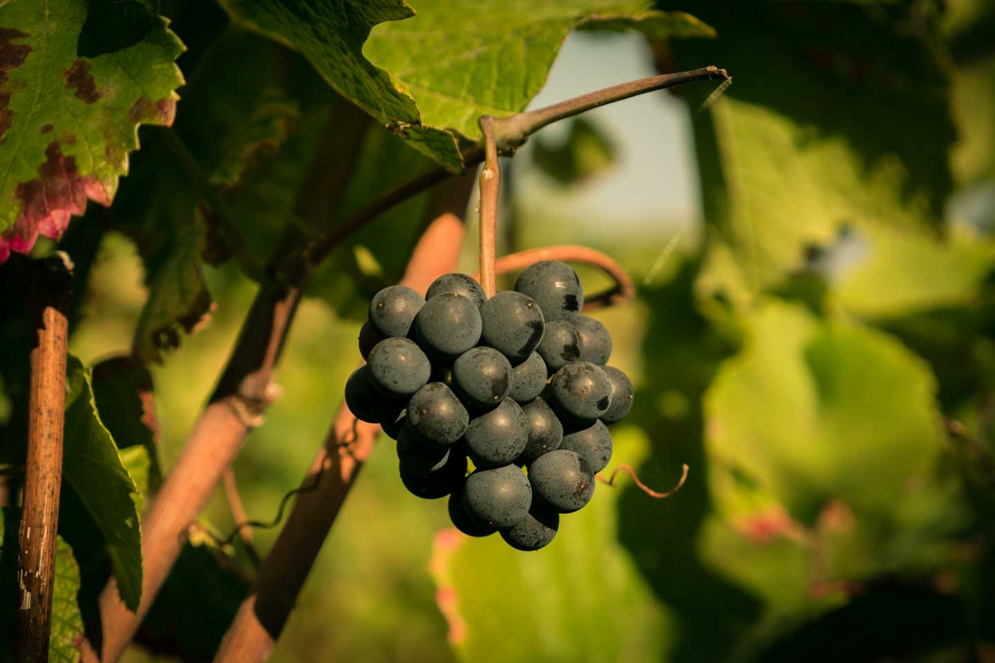 Ripe grapes at the Schlemmerwanderung in Oppenheim 2015