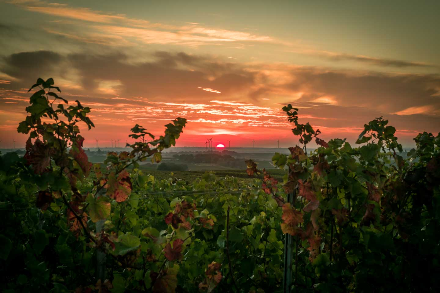 Sunset in the vineyard between Nierstein and Oppenheim
