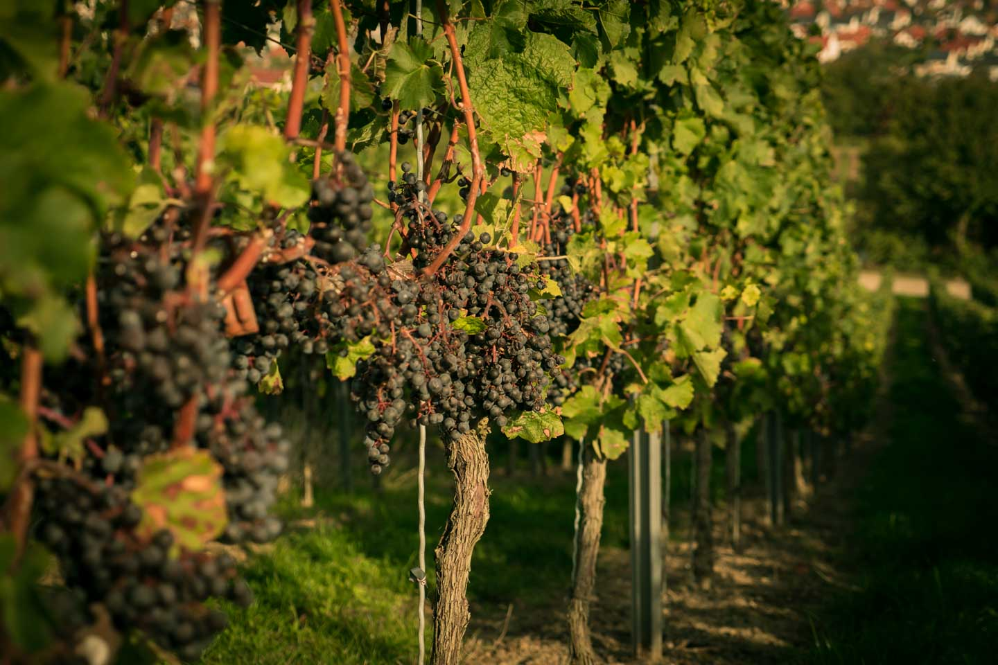 Ripe grapes at Rheingau gourmet hike / Schlemmerwanderung in Oppenheim 2015