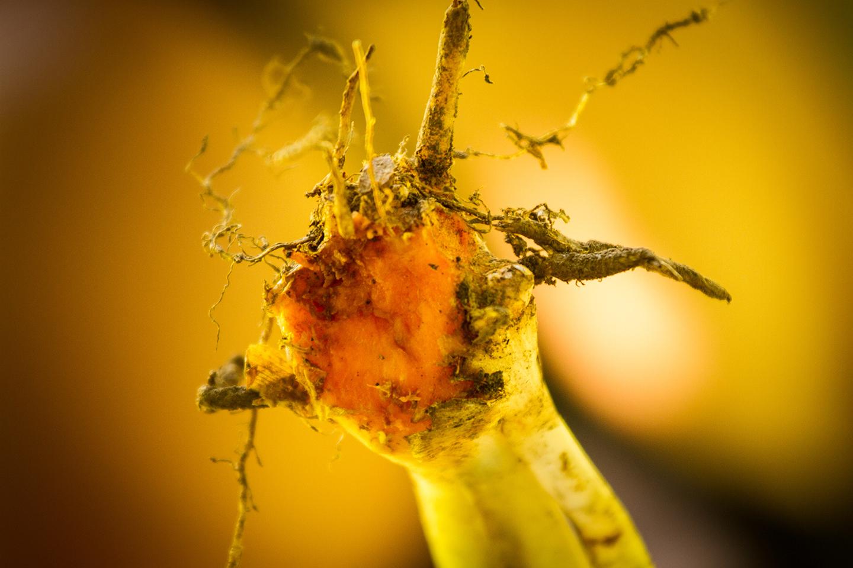 Curcuma spice plant and root Gelbwurz Gelbwurzel